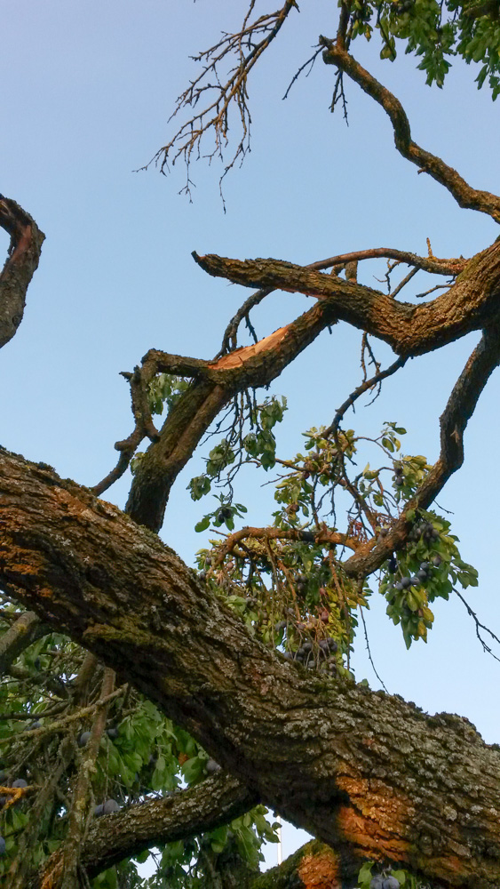 Ast abgebrochen vom Zwetschgenbaum