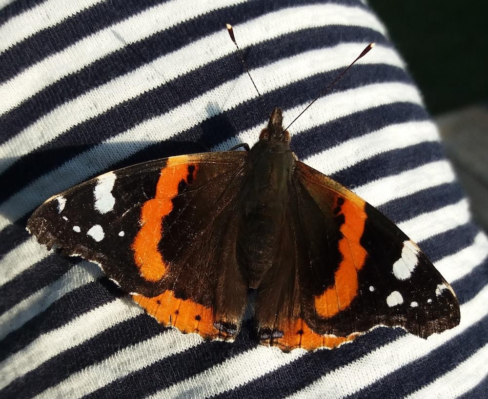 Schmetterling auf Streifen